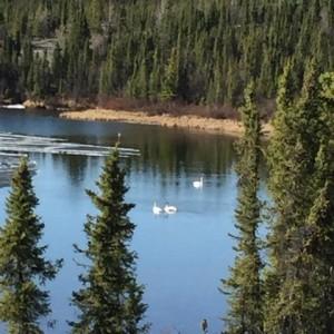 Swans in Bay